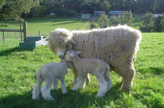 800px-Romney_Ewe_and_Lamb
